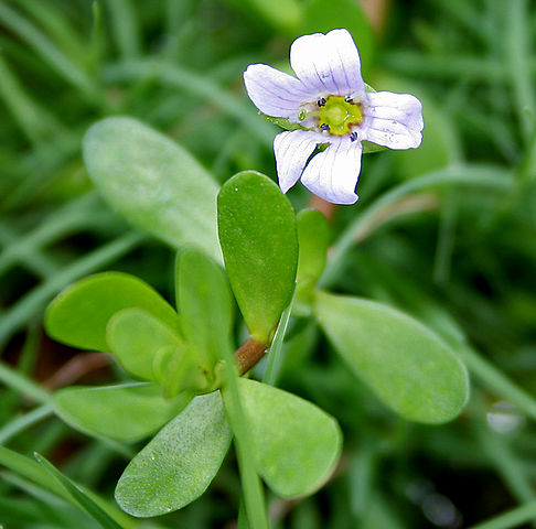 BACOPA MONNIERI to enhance MEMORY AND COGNITION?